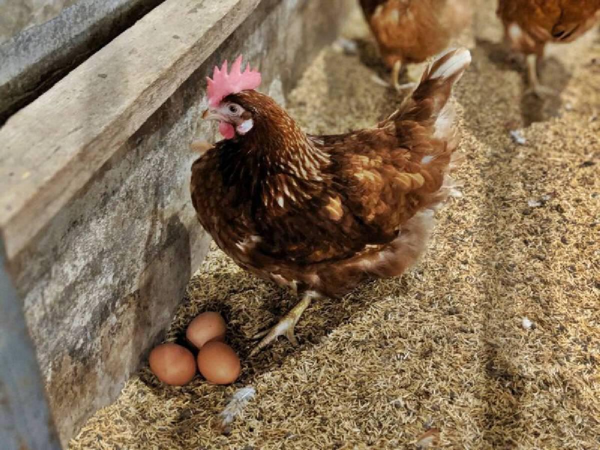 CPF ขยายเลี้ยงไก่ไข่ไม่ใช้กรง เจาะคนรุ่นใหม่ใส่ใจสวัสดิภาพสัตว์