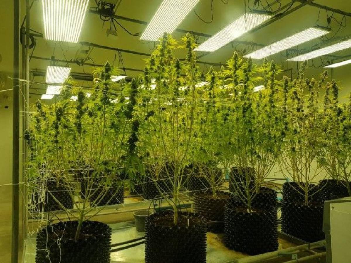 ปลดล็อก กัญชา-กัญชง พ้นบัญชียาเสพติดประเภท 5