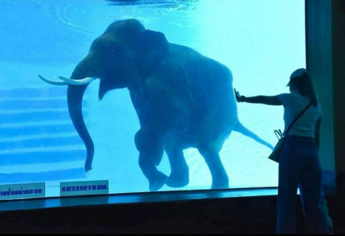"""สวนสัตว์เปิดเขาเขียว กลับมาเปิด""""โชว์ช้างว่ายน้ำ""""แห่งเดียวในเอเชียแล้ว"""