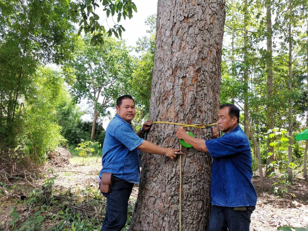 ปชช.แห่นำไม้ยืนต้นเป็นหลักประกันกู้เงิน  สู้วิกฤติโควิด กว่า1.25แสนต้น