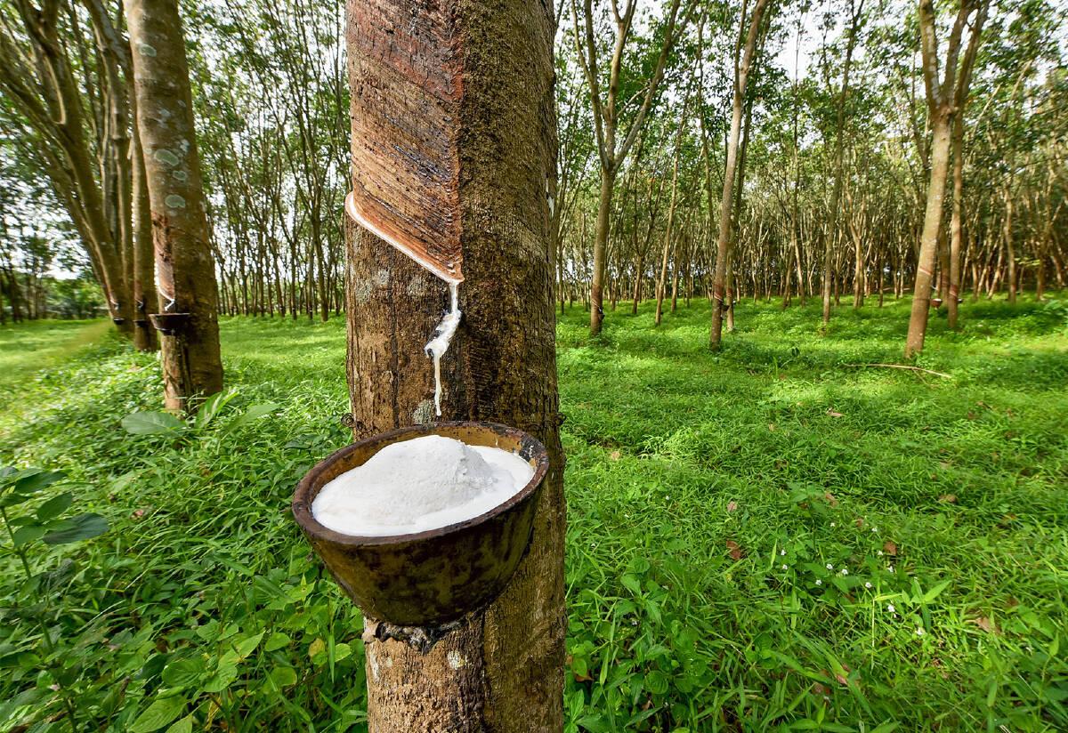 """ต้นทุนยางพาราไทย : ต้อง """"ปรับ 360 องศา"""" เพื่อศักยภาพการแข่งขัน"""