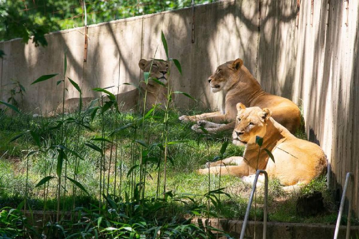 """โควิดป่วนสวนสัตว์ """"เสือ-สิงห์"""" สวนสมิธโซเนียนส่อติดยกคอก"""